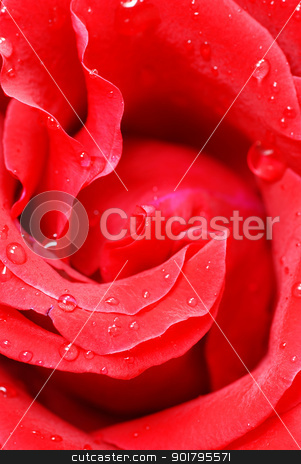 Red rose petals stock photo, gorgeous blooming red rose flower closeup macro by Julija Sapic