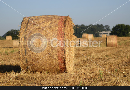 Wheat  stock photo, Golden wheath in a hot summer in Italy by Maurizio Martini