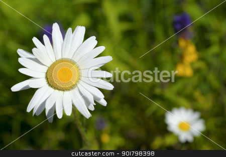chamomile on green field stock photo, chamomile on green field  and colorful flowers by Rusgri