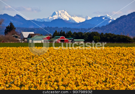 Mount Shuksan Skagit Valley Yellow Daffodils Flowers Washington  stock photo, Mount Shuksan Red Farm Builiding Yellow Daffodils Flowers Snow Mountain Skagit Valley Washington State Pacific Northwest by William Perry
