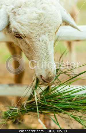 Sheep eating grass in corral  stock photo, Sheep eating grass in corral with naturelight by moggara12