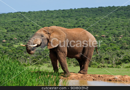 Elephant drinking water at Harpoor Dam, Addo National PARK, Sout stock photo, Elephant drinking water at Harpoor Dam, Addo Elephant National Park, South Africa by Grobler du Preez