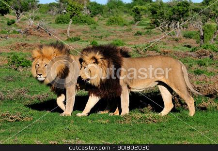 Two Kalahari lions, Panthera leo, in the Addo Elephant National  stock photo, Two Kalahari lions, panthera leo, in the Kuzuko contractual area of the Addo Elephant National Park in South Africa by Grobler du Preez