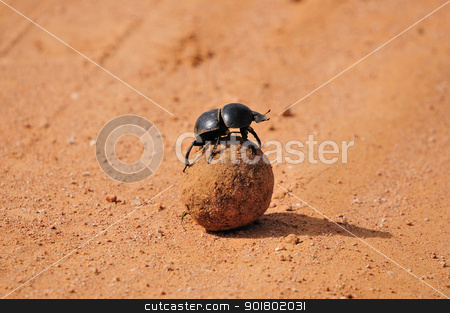 A Flightless Dung Beetle in the Addo Elephant National Park stock photo, Flightless Dung Beetle, Circellium bacchus in the Addo Elephant National Park in South Africa. by Grobler du Preez