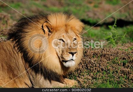 A male Kalahari lion, Panthera leo, in the Addo Elephant Nationa stock photo, A male Kalahari lion, panthera leo, in the Kuzuko contractual area of the Addo Elephant National Park in South Africa by Grobler du Preez