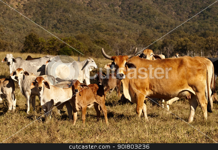 Beef Cattle Cow with Horns stock photo, Beef Cattle Cow with Horns and cattle herd with calfs by sherjaca