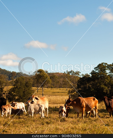 Australian Beef Cattle stock photo, Australian Beef Cattle with calves in rural Queensland by sherjaca
