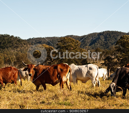 Horned Cow in Cattle Country Australia stock photo, Horned Cow in Cattle  Pasture Country in Australia by sherjaca