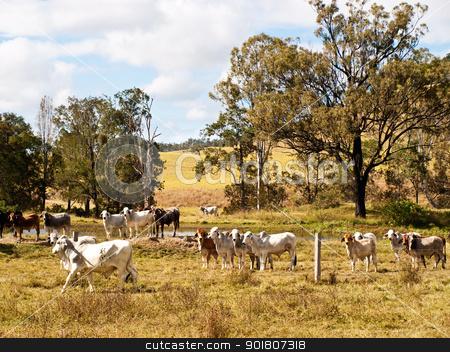 Beef cattle stock photo, australian beef cattle cows near a dam  by sherjaca