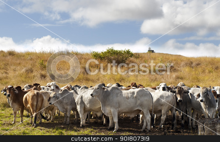 Herd of brahman beef cattle cows stock photo, Herd of brahman beef cattle cows in rural Queensland by sherjaca