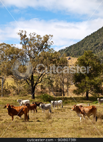 Rural Scene stock photo, Rural scene with beef cattle cows and gum trees by sherjaca