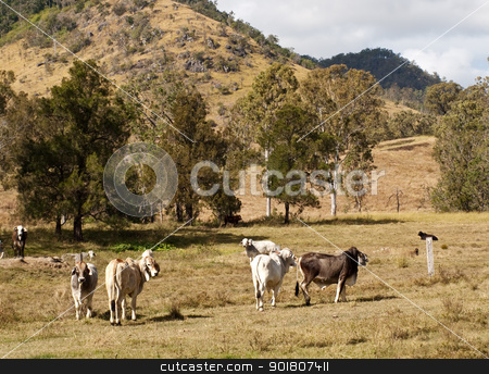 Australian rural scene beef cattle stock photo, Brahman beef cattle in Australian rural scene by sherjaca