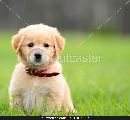 Puppy Sitting In the grass with copyspace on the right. stock photo, Puppy Sitting In the grass with copyspace on the right. by Richard Nelson