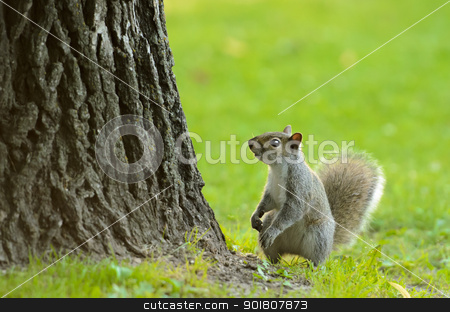 Little Squirrel stock photo, A small squirrel at the base of a tree with empty space above him. by Richard Nelson