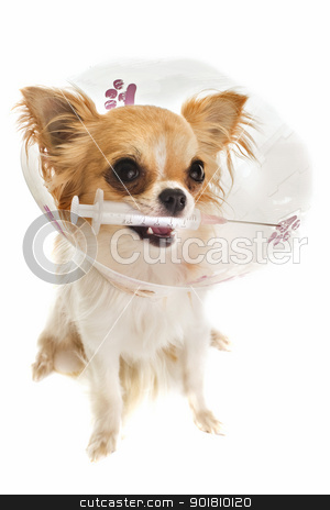 after an operation stock photo, a chihuahua wearing a protective veterinary collar after a surgical operation and holding a sting by Bonzami Emmanuelle
