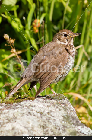 Song thrush (Turdus philomelos) in an English garden. stock photo, Song thrush (Turdus philomelos) in an English garden. by Stephen Rees