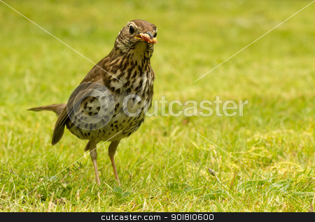 British Song Thrush with bread in its beak. stock photo, British Song Thrush (Turdus philomelos) with bread in its beak. by Stephen Rees