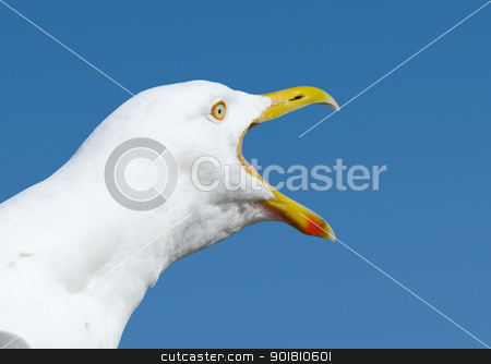 Angry squawking seagull with beak wide open. stock photo, Angry squawking seagull with beak wide open. by Stephen Rees