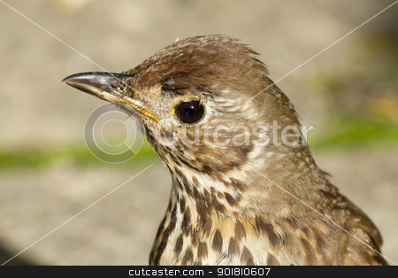 Young British Song Thrush (Turdus philomelos) close up. stock photo, Young British Song Thrush bird (Turdus philomelos) close up. by Stephen Rees
