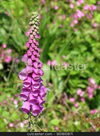 Shallow focus on flowering pink foxglove plant (digitalis purpurea). stock photo, Shallow focus on flowering pink foxglove plant (digitalis purpurea). by Stephen Rees