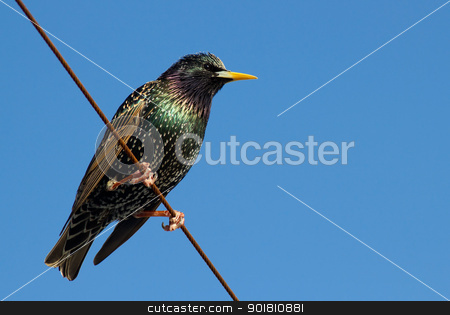 A starling bird perched on a wire. stock photo, A starling bird perched on a wire. by Stephen Rees