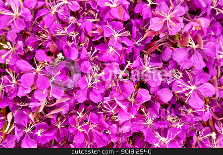 The texture of the fireweed stock photo, The texture of the flowers of pink fireweed by rezkrr