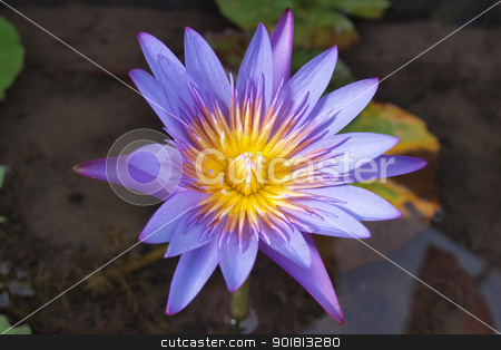 a lotus is blooming stock photo, purple water lily is blooming by jakgree