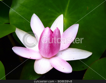 Pink water lily stock photo, Pink water lily is blooming by jakgree