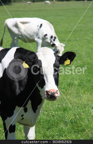 black and white cow stock photo, Black and white cow in a sunny meadow by Porto Sabbia