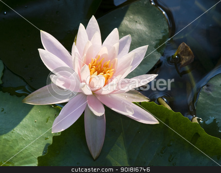 Pink water lily is blooming stock photo, Pink water lily is blooming by jakgree