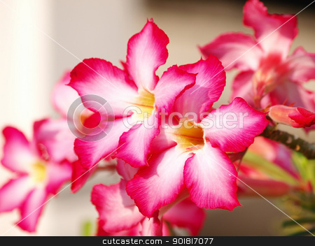 Pink impala lily close up stock photo, Pink impala lily close up by jakgree