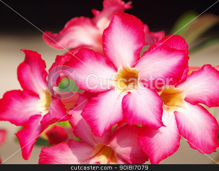Pink impala lily close up stock photo, Pink impala lily close up by jakgree
