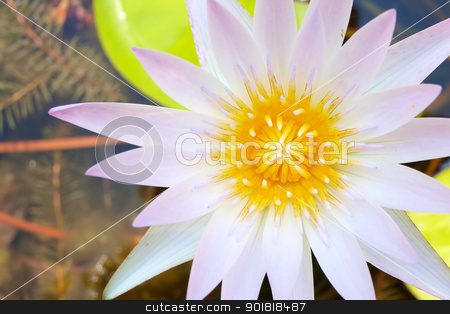 Close up of water lily is blooming stock photo, Close up of water lily is blooming by jakgree
