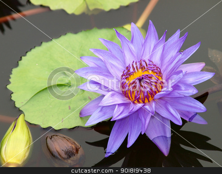 Close-up of colorful purple water lily stock photo, Close-up of colorful purple water lily by jakgree