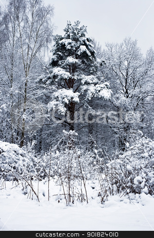 Snowy weather in the forest stock photo, winter forest under white snow, Moscow, Russia by Alexey Popov