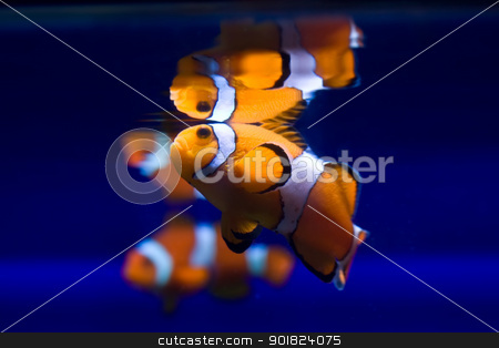 Exotic fish stock photo, Funny klownfishe (Amphiprioninae) by Alexey Popov