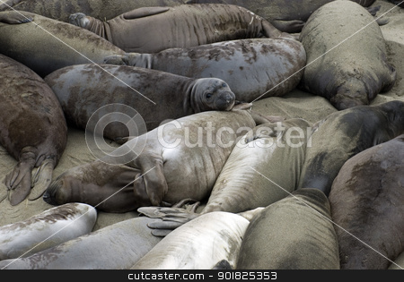 Beach of Seals stock photo, Dozens of seals laying on the beach at Ano Nuevo, California by Stephen Gibson