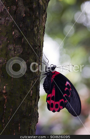 Postman Butterfly stock photo, Postman Butterflies (Heliconius melpomene) are tropical butterflies found in Central and South America. They are most common along sunlit forest edges with flowers. by Abdul Sami Haqqani
