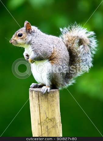 squirrel stock photo, squirrel siting on the wooden post by nevenm