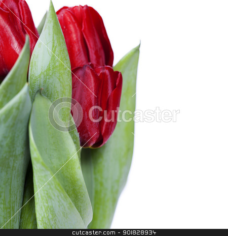 red tulips stock photo, fresh red tulips on white background by klenova