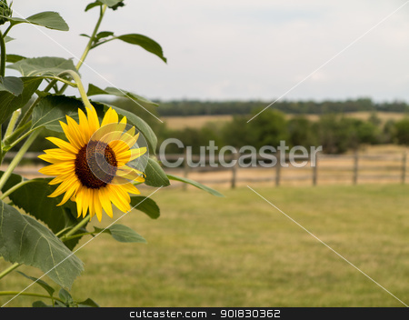 Single sunflower with fence and meadow in background stock photo, Close up of sun flower with a rural scene with meadows and fence in background by Steven Heap