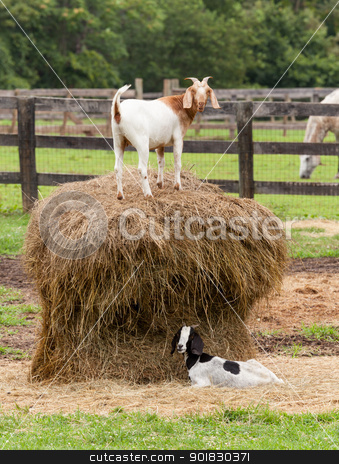 White goat on straw bale in farm field stock photo, Goats standing on top of bale of straw in farm field with horse by Steven Heap