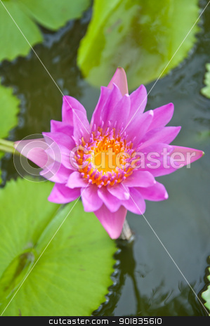 Violet lotus stock photo, violet lotus in the garden by Charoen Dokkularb