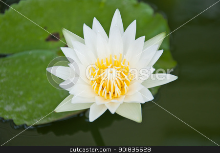 White lotus stock photo, white lotus in the garden by Charoen Dokkularb
