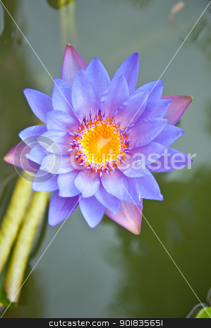 Violet lotus stock photo, violet lotus in the garden by Charoen Dokkularb