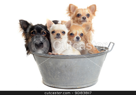 before the bath stock photo, portrait of purebred  chihuahuas in front of white background by Bonzami Emmanuelle