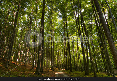 beech forest stock photo, Beechwood and forest path by Siloto