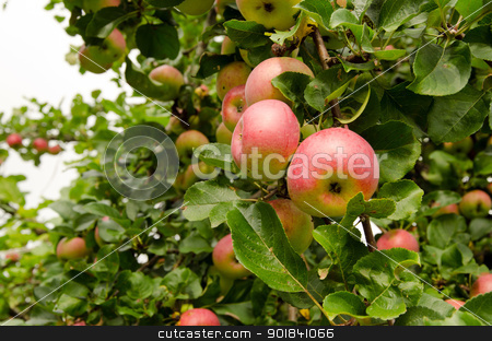 ripe apple hang on fruit tree branch. Healthy food  stock photo, Red ripe apples hang on fruit tree branch. Healthy ecologic food nutrition.  by sauletas