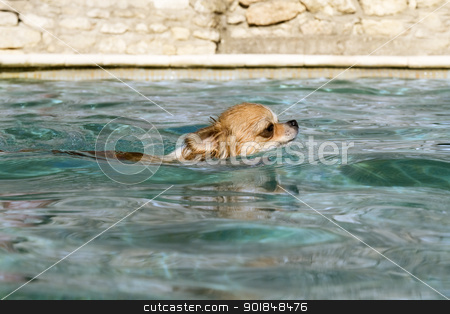 chihuahua in the water stock photo, portrait of a cute purebred  chihuahua in the swimming pool by Bonzami Emmanuelle