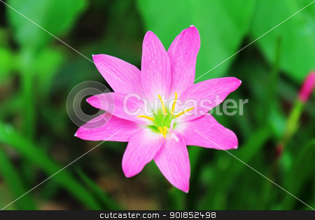 pink flower  stock photo, beautiful pink flower in the garden by dinhngochung